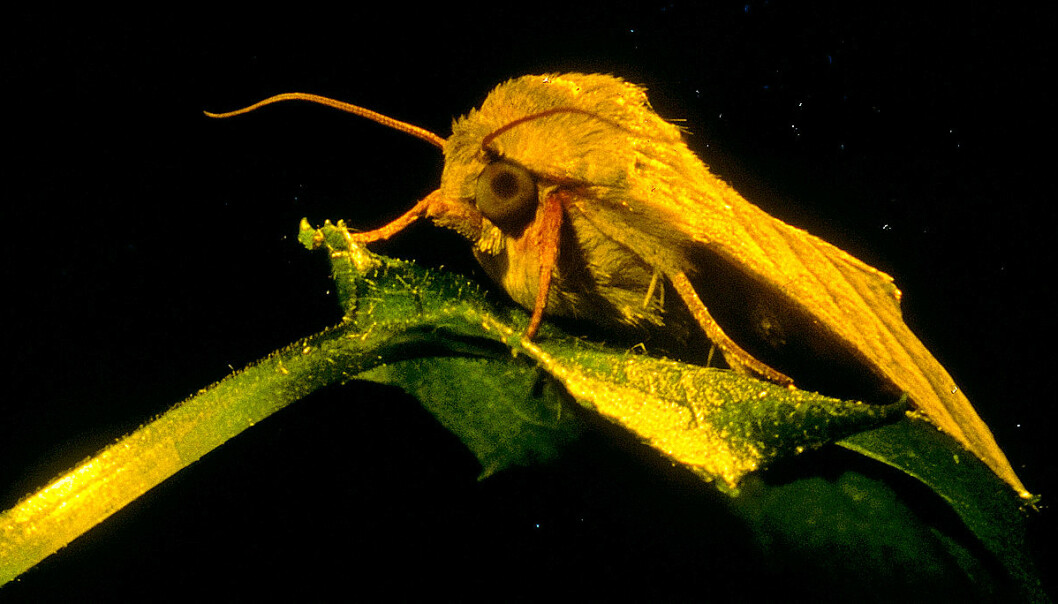 The human brain is more similar to the moth brain than you might otherwise think. (Photo: NTNU)