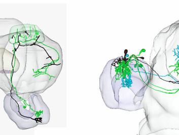 Three different colors illustrate male moth neurons. Green and turquoise coloured neurons respond to two different substances released by the female to attract the male. Black coloured neurons transmit information about a substance released by a female of another species, i.e. a possible mistaken source. This substance causes the male moth to flee the odour source. (Illustration: NTNU)