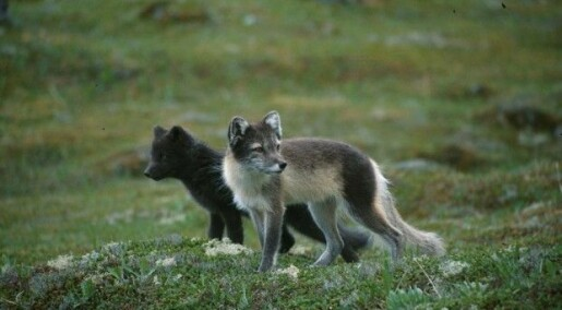 Thin Arctic foxes suffer more from industrial pollutants