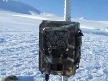 Researchers set up twenty game cameras in different locations in Nordenskiöld Land on Spitsbergen in Svalbard. (Photo: Eva Fuglei, Norwegian Polar Institute)