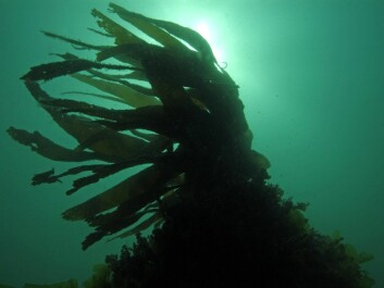 Alginates are biopolymers derived from seaweed. (Photo: Colourbox)