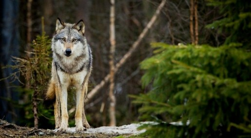 Wolves love and fear forest roads