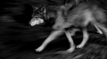 Norwegians more tolerant of illegal wolf shooting