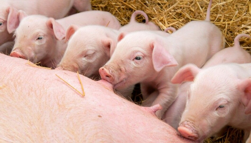 The goal is to keep pig families as happy as possible. (Photo: Microstock)