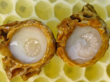 Developing queen larvae bathed in royal jelly. (Photo: Waugsberg/CC BY-SA 3.0)