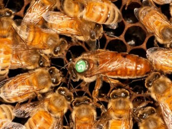 Bacteria are carried along with food and digested by the queen bee (here it's the one with the number on her back). (Photo: Christofer Bang)