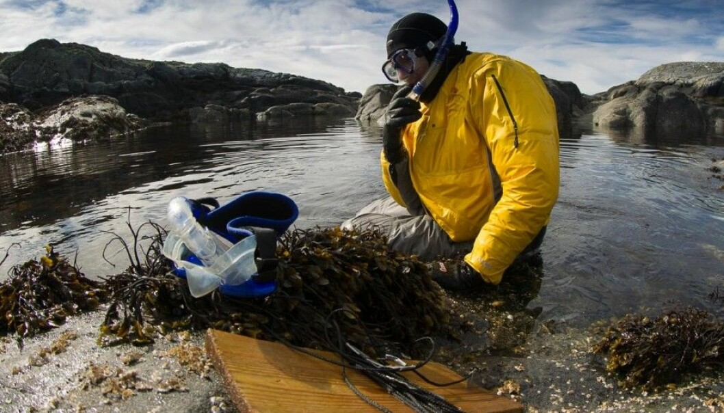 Professor Trond Amundsen found the record-breaking nest while he was snorkeling in the seaweed on the coast northwest of the island of Hitra, in central Norway. (Photo: Per Harald Olsen, NTNU)