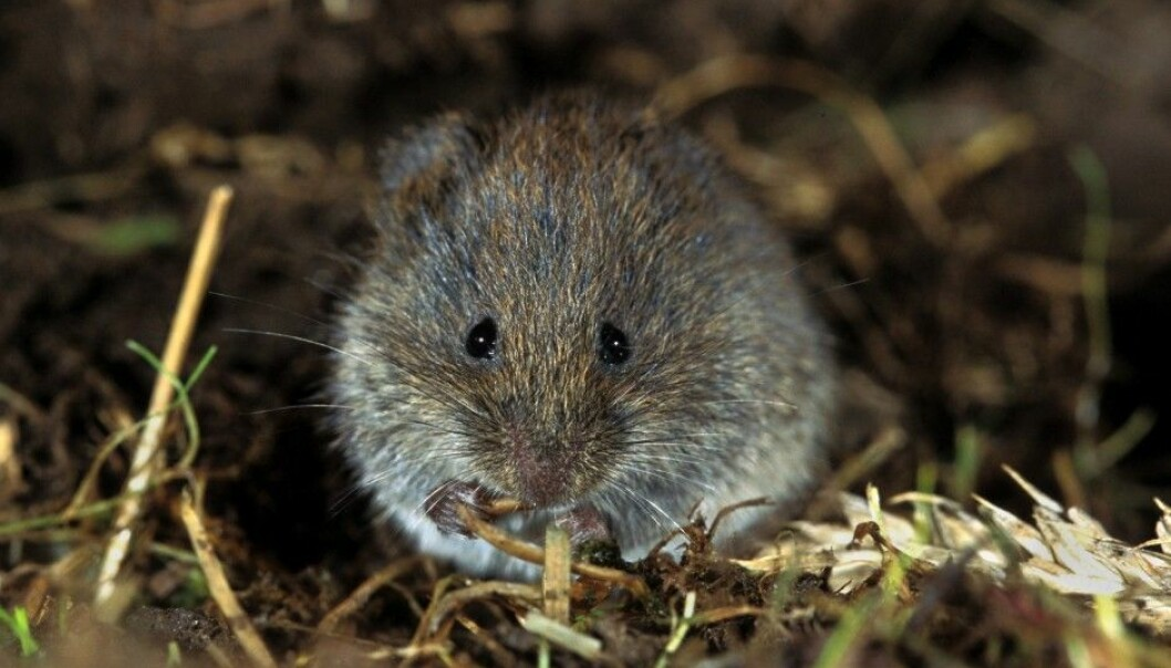 Small rodents like this one have a huge effect on Norway's forests and mountains. Last summer rodent populations in Norway were extremely high, but plummeted last winter to next to nothing. (Photo: Lars Gejl, NTB scanpix)
