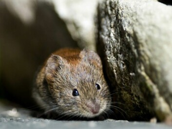 If a Norwegian homeowner discovers rodents in their basement or mountain cabin, it is almost certainly this species, Myodes glareolus, commonly known as a bank vole. (Photo: Bård Bredesen/Naturarkivet.no)