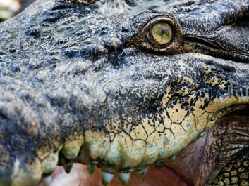 """Some species are robust and can cope with many types of environments. """"The crocodile is a possible example of such a species. It has hardly changed in many millions of years. Maybe it doesn't need to?"""" queries Kjetil Lysne Voje. (Photo: Colourbox)"""