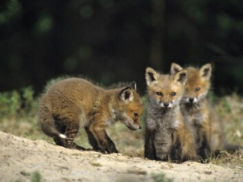 Fox pups in Norway's forests may have a tough time this year because of the drastically reduced numbers of rodent prey. (Photo: Lars Gejl, NTB scanpix)