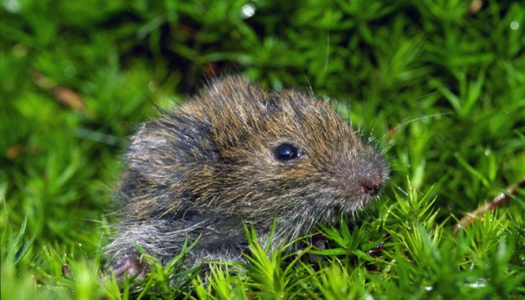 For nearly 100 years, scientists have tried to solve the riddle around the large population fluctuations of small rodents like mice and lemmings. Hundreds of research papers and books have been written on the topic. But scientists still disagree. (Photo: SieBio / Wikimedia Commons)
