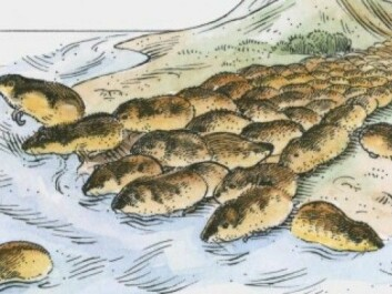 "This does NOT happen: Lemmings do not commit mass suicide by drowning or by jumping off cliffs. It's an old myth that has been perpetuated by the infamous Disney film ""White Wilderness"" from 1958, where filmmakers constructed scenes where lemmings jumped to their deaths. The film won an Oscar for best documentary. (Photo: Illustration of an advertisement  for ""White wilderness"" / Disney)"