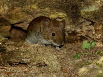 When small rodents such as this bank vole reproduce, their population growth can be exponential. Last year scientists estimate there may have been as many as 100 mice per 1000 m2 of forest floor in southern Norway. This summer numbers plummeted to roughly one mouse per 1000 m2 of forest floor. (Photo: Henrik Pyndt Sørensen, NTB scanpix)