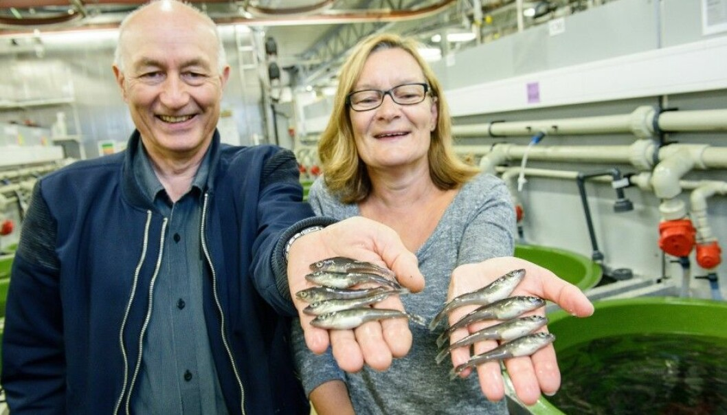 Look at these beautiful juvenile cod! Head of the cod breeding programme Atle Mortensen and head of station Tove K. Hansen are proud of having shown that it is possible for all cod to survive the juvenile phase, if everything is optimal. (Photo: Lars Åke Andersen, Nofima)