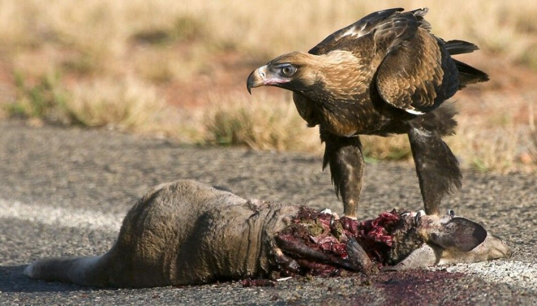Scavenging animals can just dive in when they find a carcass by the roadside. But can humans also eat this meat? (Photo: Djambalawa / Wikimedia Commons)