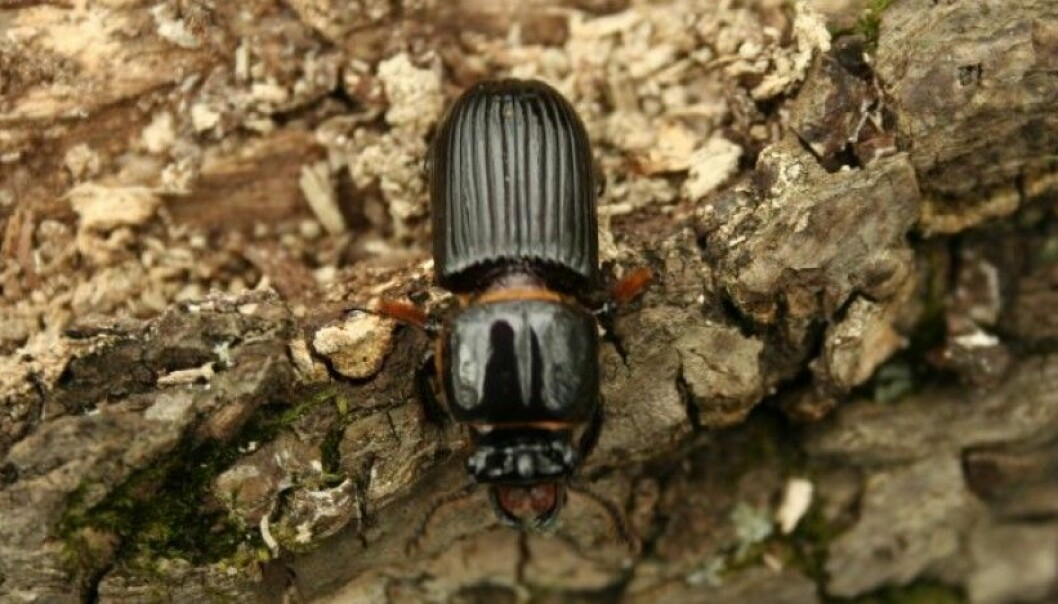 Bark beetles set the stage for specific types of fungi by loosening the bark from the tree. The fungus in turn helps break down wood on the forest floor. (Photo: Cyndy Sims Parr/Flickr)