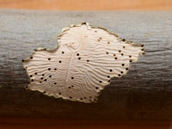 Bark beetles have left their signature pattern under the bark of an aspen tree. (Photo: Simon A. Eugster /Wikimedia commons)