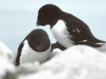 Increasing numbers of seabirds, like these auks, could be responsible for bringing the nutrients needed for the rapid plant growth in this part of Svalbard (Photo: Wikimedia)