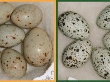 This illustration shows the wide variety of colours and patterns in eggs laid by cuckoos. Cuckoo eggs may be slightly different in size to a host bird's eggs, but otherwise it is almost impossible to tell the difference, especially for humans. (Illustration: NTNU)