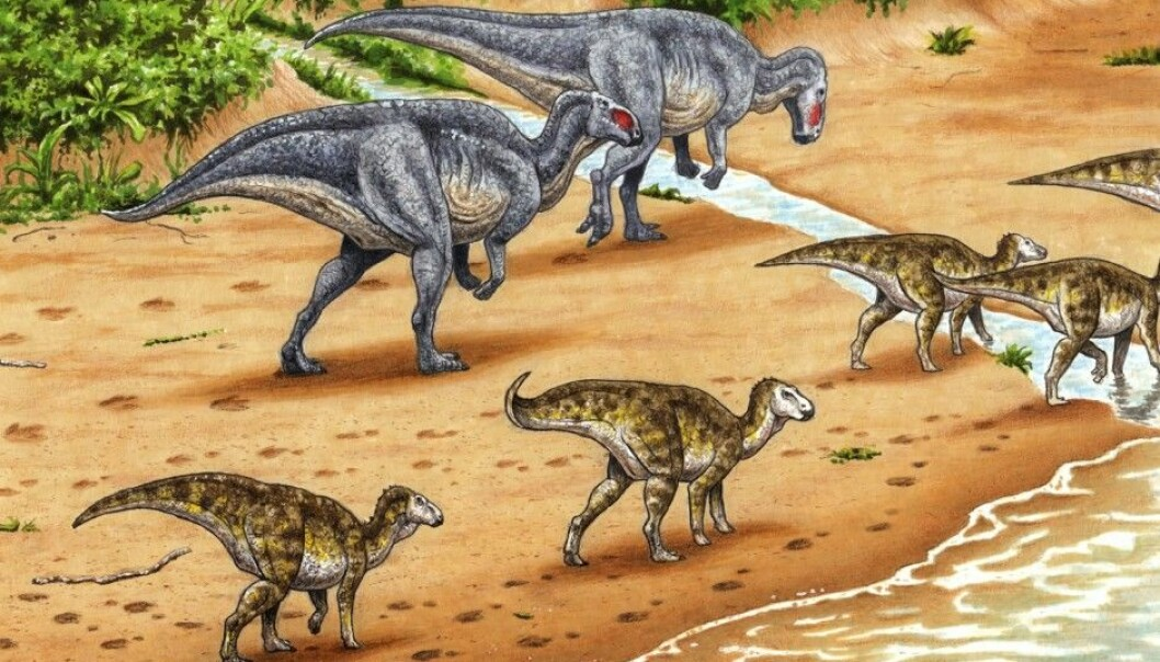 The Norwegian island archipelago of Svalbard was much warmer and wetter 123 million years ago, during the time of the dinosaurs. The illustration shows plant-eating ornithopods on Svalbard and their tracks in the sand. Until now, scientists believed that the tracks came from a carnivorous dinosaur called a theropod, but these dinosaurs always walk on two legs. Researchers have now found the imprint of front feet in the Svalbard tracks, meaning that the dinosaur that left them walked on all fours and had to be a vegetarian. (Illustration: Esther van Hulsen)