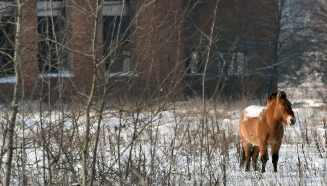 A Przewalski's horse inside the Exclusion Zone around Chernobyl. This is the last remaining subspecies of wild horse in the world. Przewalski's horses were released in the area in 1998 and 1999, where the animals now appear to be thriving. (Photo: Genya Savi, AFP, NTB Scanpix)