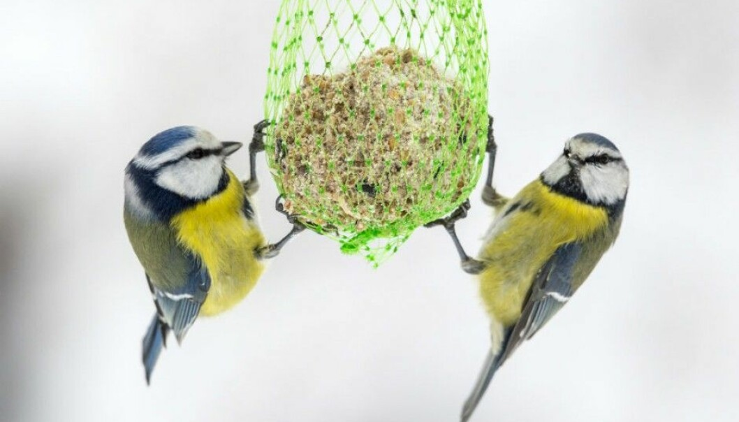 Blue tit females who have been attacked in the nest by a predator change their behaviour. (Foto: © Steinar Myhr/NN/Samfoto/NTB Scanpix.)