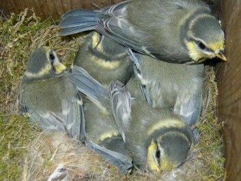 One nest of blue tits may contain chicks from three or four different fathers. (Photo: Arnstein Rønning/Wikimedia commons.)