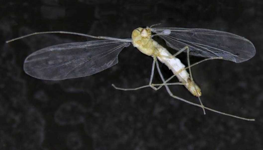 The T. hajdi is the only known sightless cave insect that can fly. (Photo: Linn Katrine Hagenlund)