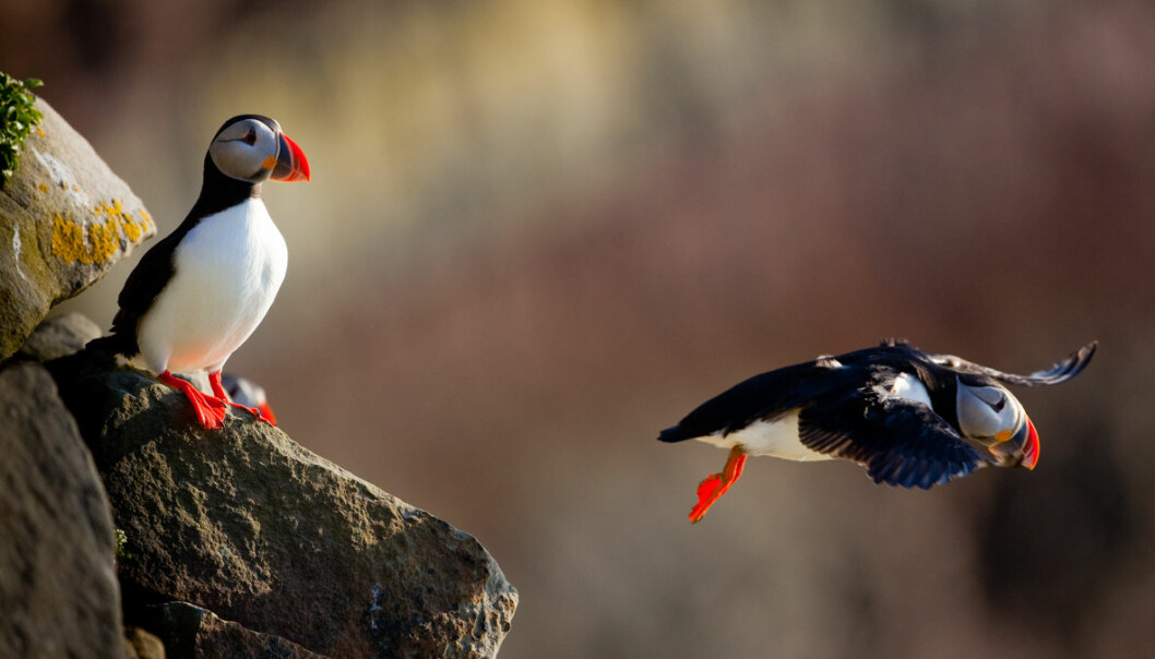 Nearly a million-and-a-half puffins are found along the coasts of the Norwegian and Barents Seas, according to SEAPOP, a long-term monitoring and mapping programme for Norwegian seabirds that was established in 2005 and run by the Norwegian Institute for Nature Research (NINA). (Photo: Per Harald Olsen)