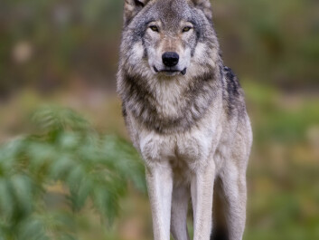 Wolves were extinct in Norway for over a century, but now they have wandered across the border from Sweden, Finland and Russia and have gained a new foothold. (Photo: Colourbox)