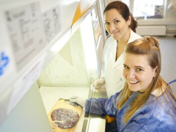 Lobke Gierman (sitting) and Gabriela Brettas Silva in the laboratory with a placenta. (Photo: Jacob Storgaard Jensen, Storgaard Design, NTNU)