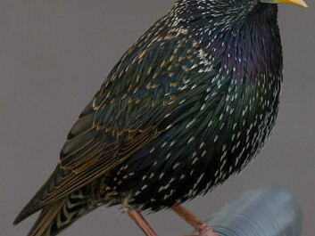 The creature was at least bird-like and was about the size of a starling like this one. (Photo: Pierre Selim/Wikimedia Commons)
