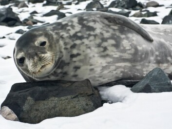 Greenland is on the verge of getting too many seals because of the reduction of seal hunting. Could a similar problem occur if whaling were halted? (Photo: Colourbox)