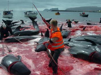 Grindedrapet – the slaughter of pilot whales – is a traditional, albeit internationally controversial, way of getting meat on the table in the Faroes. This meat is not sold commercially. It is divided equally among all the locals. (Photo: Andrija Ilic, Reuters/Scanpix)