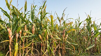Can't agree on harmfulness of GMO maize