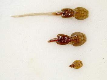Salmon lice. (Photo: Thomas Bjørkan/wikimedia commons)