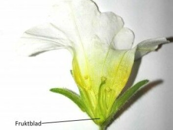 The ovaryof a common garden plant. (Photo: Paintser)