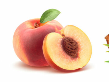 Almonds are the seed of stone fruit, or drupes. We eat the fruit wall of the peach. The coconut is filled with the nutrients the seed needs to grow. (Photo: Shutterstock / NTB scanpix)