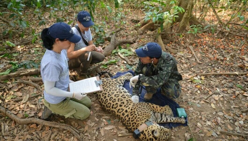 Brazilian researchers examine an anaesthetized jaguar in Brazil. (Photo: Øystein Wiig)