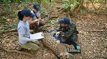 How to capture a jaguar