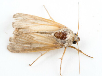 This is what the Fall armyworm moth looks like(Photo: Erling Fløistad)