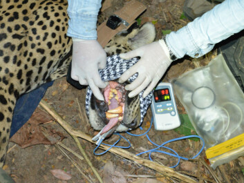 Here the gums of a sedated jaguar are being examined. The clip on its tongue measures its pulse and its blood oxygen levels. (Photo: Øystein Wiig)