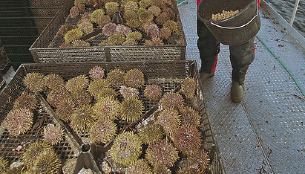 Sea urchins – an example of a little utilized marine resource. (Photo: Frank Gregersen/Nofima)