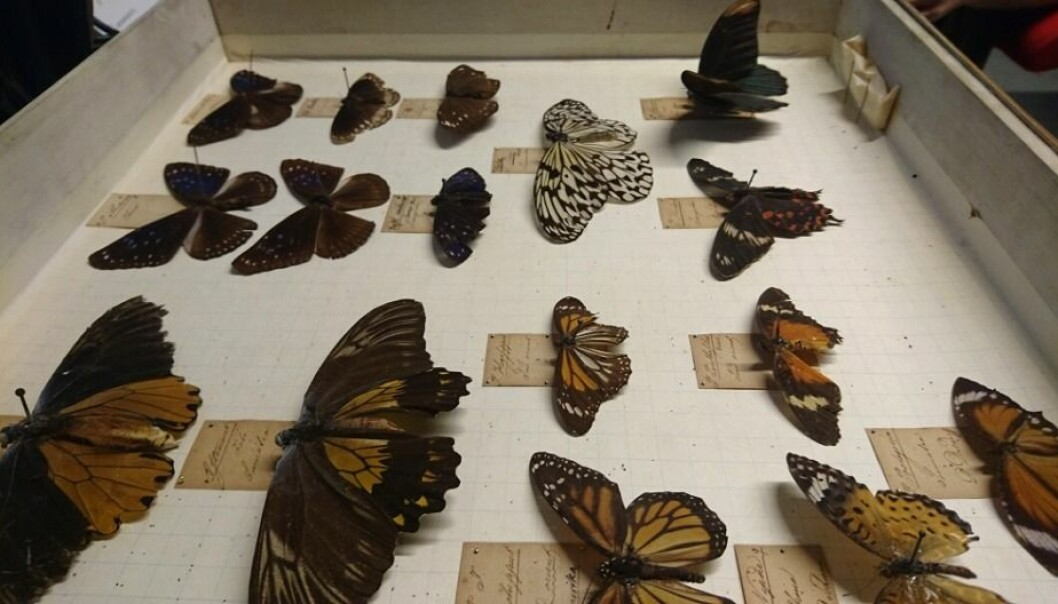 These butterflies still look as if they could fly away, but it's only an illusion. In fact, they were collected 200 years ago as part of an insect collection that became the foundation for entomological research in Norway. (Photo: Marianne Nordahl)