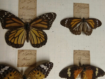Daldorff's signature is still visible on the faded labels underneath the butterflies. (Photo: Marianne Nordahl)