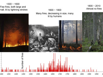 The forest scientists collected wooden samples from old, burned pine trees and stumps and analyzed their tree rings in order to map forest fires from 1300 onwards. The oldest forest fires were from before the Black Death (1350). (Photo credits: Erik Holand, Ken Olaf Storaunet, NIBIO, and Jørund Rolstad, NIBIO. Painting: Eero Järnefelt, Ateneum museum in Helsinki, Finland.)
