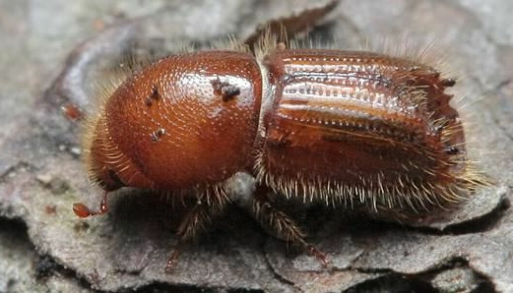 The spruce bark beetle can travel for miles to find a vulnerable host, according to Wikipedia. Once the host is located, the adult burrows through the weakened bark in order to build tunnels where they can mate and lay eggs.(Photo: Wikimedia Commons)
