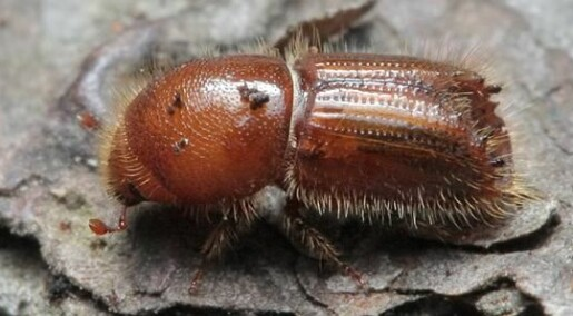 Effects of climate change on the spruce bark beetle