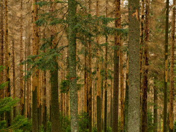 The spruce bark beetle kills trees in large numbers. (Photo: Colourbox)